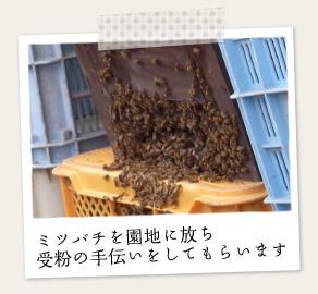 ミツバチを園地に放ち受粉のお手伝いを